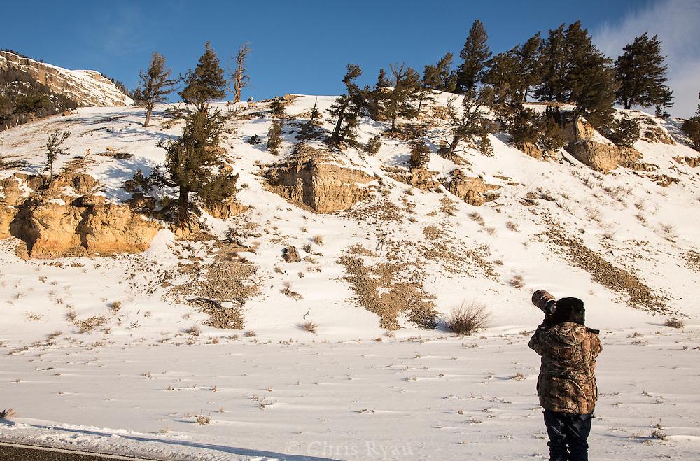 Photographer shooting bighorn sheep, Yellowstone National Park