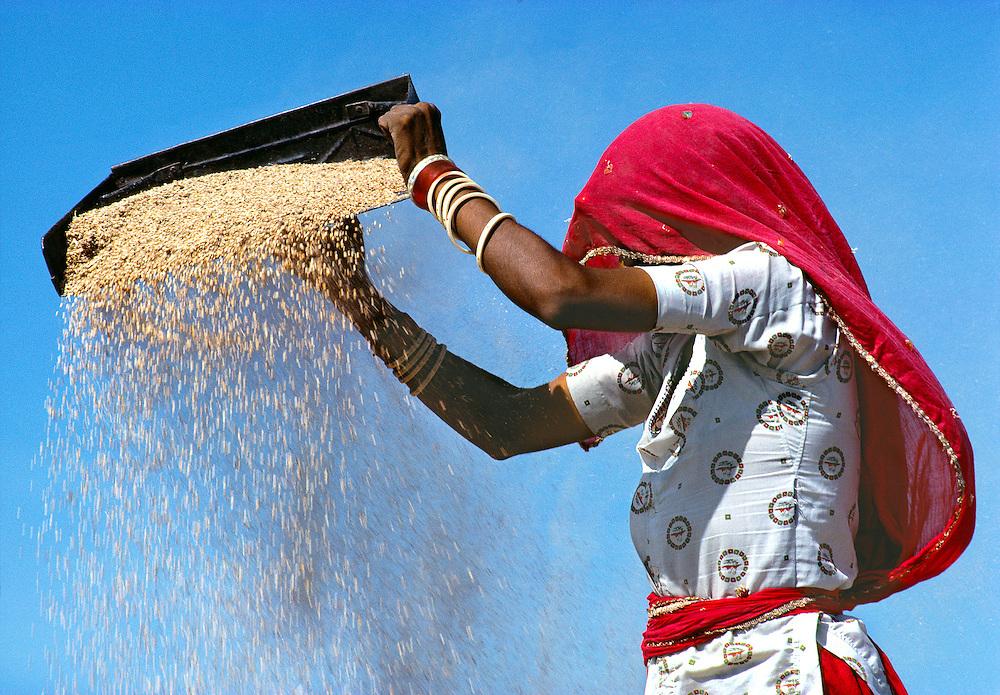 A woman winnows grain in rural Rajasthan, India.