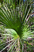 Sabal palms, Sabal palmetto, by Big Cypress Bend boardwalk at Fakahatchee Strand, the Everglades, Florida, USA