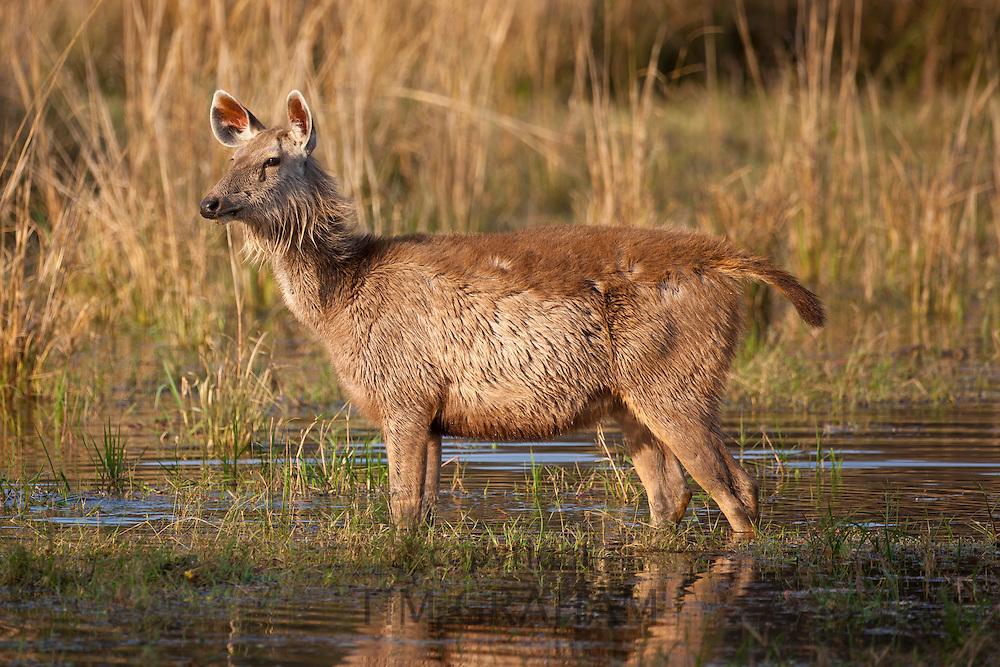 Indian Sambar, Rusa unicolor, female deer in Rajbagh Lake in Ranthambhore National Park, Rajasthan, India