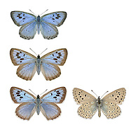 Large Blue - Maculinea arion - male (top) - female (middle and bottom).