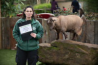 A Pygmy goat at the ZSL London Zoo Annual Stocktake in London, England. Thursday 2nd January 2020