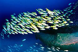 school of bluestripe snappers, .Lutjanus kasmira, at Sailboat wreck, .Kona, Big Island, Hawaii (Pacific).