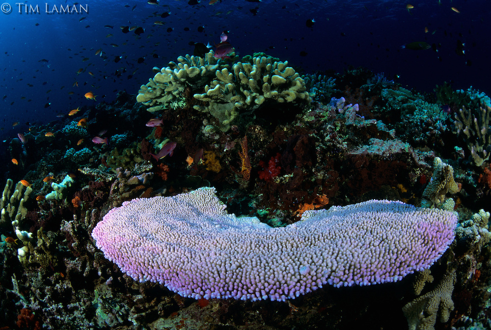A recently bleached table coral on a reef in Fiji.  Other corals in the area have not been bleached (ie. retained their algae), so this was a selective bleaching event.