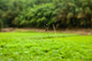 Spider in web in the bamboo forest near Narita, Japan.