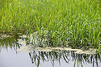 Wild rice at Pratt Cove Preserve, near the Connecticut River, Deep River, CT.