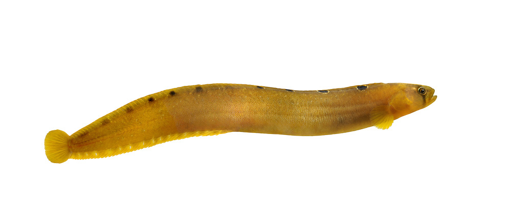 Butterfish Pholis gunnellus Length to 25cm<br /> Distinctive and unmistakable fish. Found under rocks and seaweed on lower shore. Adult is superficially eel-like but laterally compressed, yellow body with 15 pale-margined dark spots down dorsal surface. Scales are tiny and embedded in skin; fish is very slippery. Widespread and locally common; least so in E England.