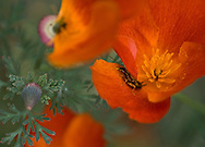Forficula auricularia or a common earwig dusted in pollen hides in the petals of a California poppy