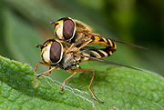 Close-up of a pair of hover-flies (Eupeodes corollae) mating on a leaf in a Norfolk garden in summer.