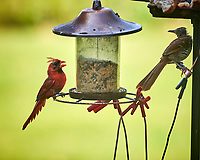 Northern Cardinal, Brown Thrasher. Image taken with a Nikon D850 camera and 200 mm f/2 lens