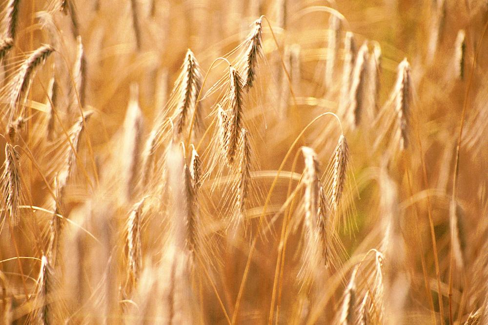 Ripe grain in a Saskatchewan field, ready to harvest