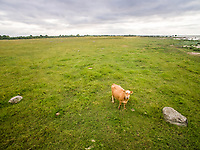 Aerial view of a cow alone in the meadow in Estonia.