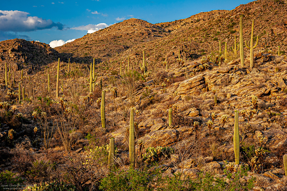Saguaro cactus in the foothills of the Rincon Mountains in Saguaro National Park, Arizona