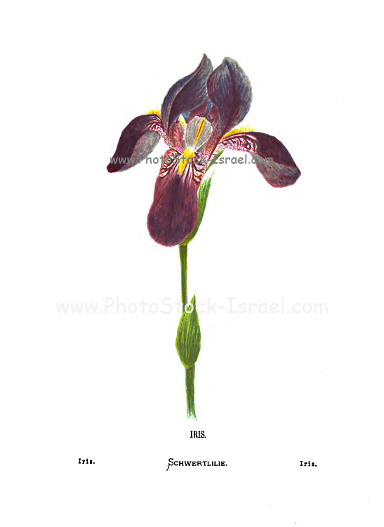 Hand coloured Iris From the book Wild flowers of the Holy Land: Fifty-Four Plates Printed In Colours, Drawn And Painted After Nature. by Mrs. Hannah Zeller, (Gobat); Tristram, H. B. (Henry Baker), and Edward Atkinson, Published in London by James Nisbet & Co 1876 on white background