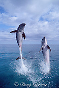 Atlantic bottlenose dolphins, Tursiops truncatus, leaping out of water, Bahamas ( Western Atlantic Ocean )