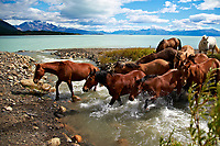 Horses crossing a stream at Estancia Helsingfors in Patagonia. Image taken with a Nikon D3s camera and 24-120 mm f/4  lens (ISO 200, 24 mm, f/4, 1/3200 sec)