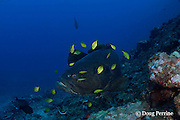 giant grouper or Queensland groper, Epinephelus lanceolatus, accompanied by juvenile golden trevally, Gnathanodon speciosus, Shark Reef Marine Reserve Beqa Passage, Viti Levu, Fiji ( South Pacific Ocean )