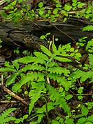 Unkknown fern species growing in the University of Wisconsin Arboretum, Madison, Wisconsin, USA.