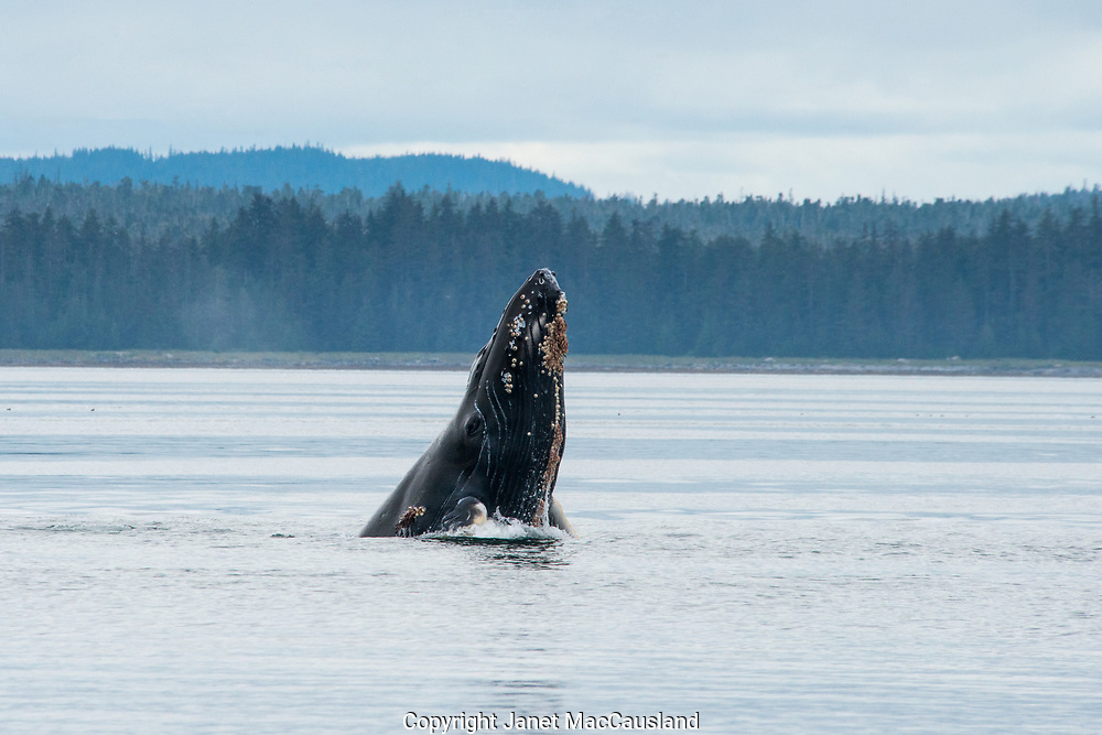 A mother humpback whale (Megaptera novaeangliae) is seen spy hopping behavior where a whale pops  vertically up out of the water to look at our boat. We can see whale barnacles on her lower jaw.