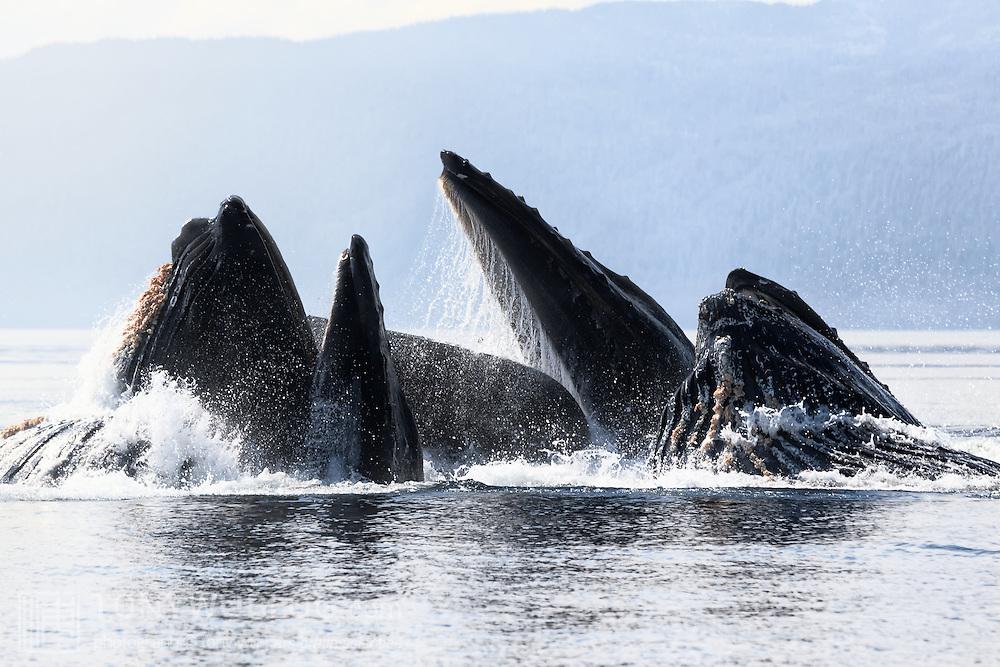 Humpback whales (Megaptera novaeangliae) engaged in cooperative bubble-net feeding in Chatham Strait, Alaska.