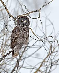 Great Grey Owl, Jackson Hole, Wyoming