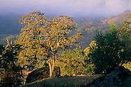 Oak trees and fog, near Willits, Mendocino County, California