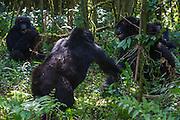 A pair of black-back mountain gorillas (Gorilla beringei beringei) playing and fighting in the forest, Parc de Volcanos, Rwanda, Africa