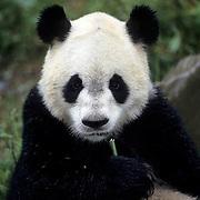 Giant Panda, (Ailuropoda melanoleuca) Wolong Natural Reserve. Sichuan, China.  Captive Animal.
