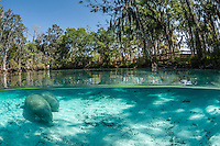 Florida manatee, Trichechus manatus latirostris, a subspecies of the West Indian manatee, endangered. A mother and calf rest near a warm blue springhead. A boardwalk or viewing platform is visible amongst the numerous trees circling the springs. Horizontal orientation split image, peaceful and undisturbed with sun rays and shadows. Three Sisters Springs, Crystal River National Wildlife Refuge, Kings Bay, Crystal River, Citrus County, Florida USA.