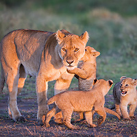 A lioness and her 3 cubs stir in the morning light, Tanzania