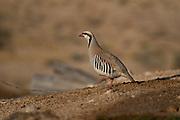 Closeup of a single Chukar Partridge or Chukar (Alectoris chukar) Photographed in Israel, Arava desert in June