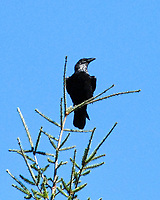 Common Raven (Corvus corax). Northern Pacific Coast Highway, California. Image taken with a Nikon D200 camera and 80-400 mm lens.
