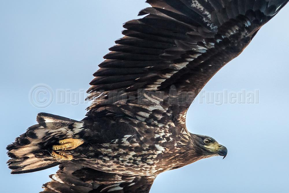 Close up White-tailed eagle, floating above our heads and looks for food | Nærbilde av havørn som svever over hodet på oss og ser etter mat.