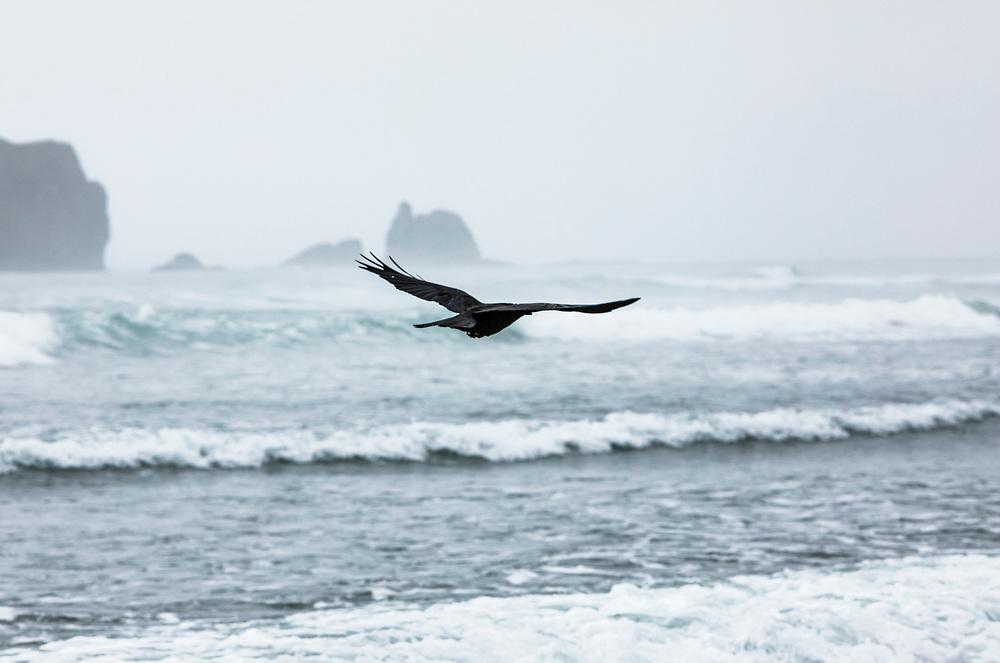 A black bird flying above the waves on 2nd Beach, Olympic National Park and Marine Sanctuary, Washington, USA.