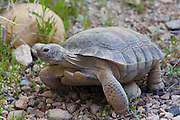 Desert Tortoise at Red Rock Canyon National Conservation Area Visitor Center, Las Vegas, Nevada