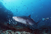 tiger shark, Galeocerdo cuvier, with remoras or sharksuckers, off Durban, KwaZulu-Natal, South Africa ( Indian Ocean )