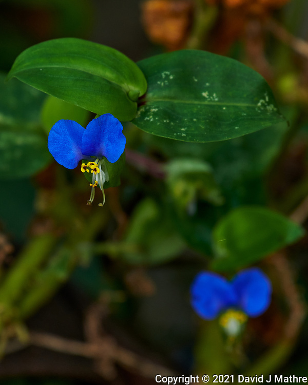 Common Dayflower. Image taken with a Nikon D850 camera and 70-300 mm VR lens.