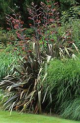 Phormium tenax Purpureum Group