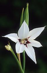Gladiolus callianthus syn. Acidanthera bicolor var murielae, A. murielae