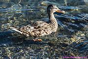 20160901  DDD TOL bird train salt mine ducks lots