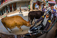 Cows graze on a street as a motorycle rides up the sidewalk in Kathmandu, Nepal.