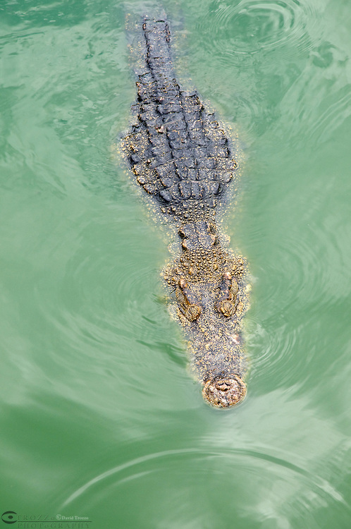 Crocodile, Samphran Elephant Ground & Zoo Nakhon Pathom province Thailand