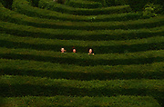 Seen from a high viewpoint,  three girls jump up to see over the high hedges of Longleat yew Hedge Maze. They cannot otherwise see over the walls of foliage, so tall is the labyrinth of twisty pathways of green foliage. Made up of more than 16,000 English Yews, Longleat's spectacular hedge maze - the world's largest - was first laid out in 1975 by the designer Greg Bright. The Maze covers an area of around 1.48 acres (0.6 hectares) with a total pathway length of 1.69 miles (2.72 kilometres). Unlike most other conventional mazes it's actually three-dimensional.