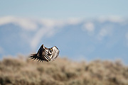 Greater sage grouse in flight in Wyoming
