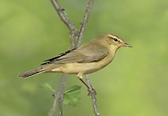 Willow Warbler - Phylloscopus trochilus - juvenile