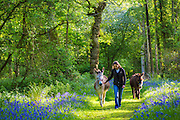 Woman leading donkey, Equus africanus asinus,  through a bluebell wood in The Cotswolds, UK