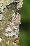 Poplar Grey Acronicta megacephala Length 20mm. A subtly-patterned moth with a slightly powdery look to its wings; it rests with its wings held flat or in a shallow tent-like manner. Adult has grey forewings with a dark-ringed pale circle and subtle dark lines. Flies May–August. Larva feeds on poplars and willows. Widespread and common only in southern and central Britain.