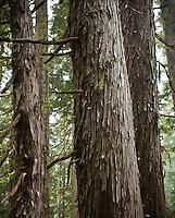 Old growth Yellow Cedar trees in Mount Rainier National Park, Washington, USA.