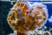 Metridium farcimen (giant plumose anemone or white-plumed anemone) is a species of sea anemone in the family Metridiidae, found in the eastern Pacific Ocean from Alaska down to Catalina Island, California. Photographed in a tank at the Oregon Coast Aquarium, Newport, Oregon, USA.