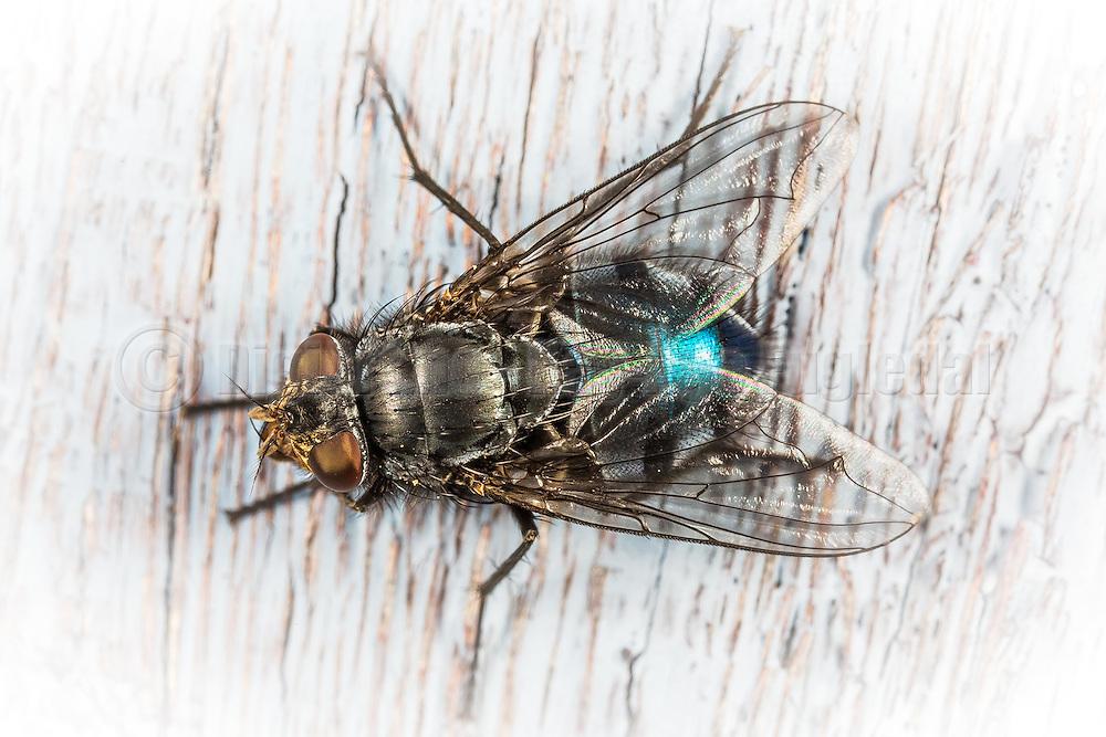 Macro picture of a fly | Makrobilde av en flue.